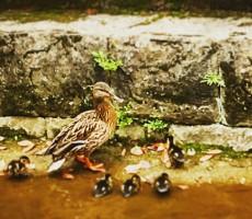 鴨の親子 現在、住吉神社所属。
